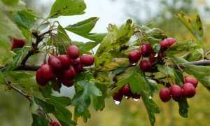 Рецепты чая из боярышника для крепкого здоровья