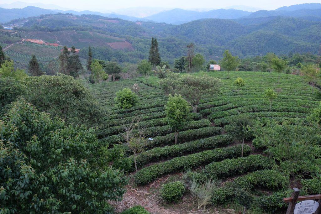 Чайная Юннаньская плантация