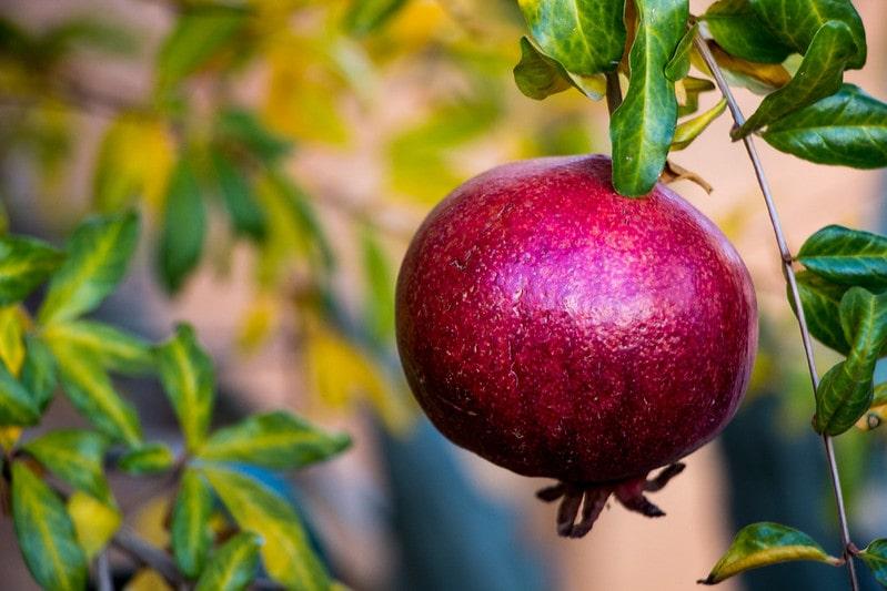 Спелый плод граната (фрукт)