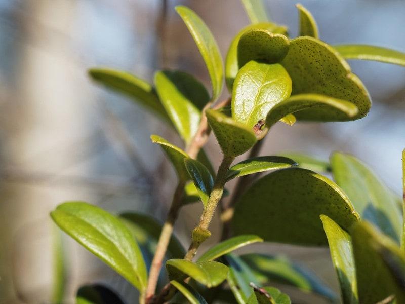Брусничные листья на ветке