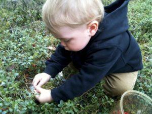 Ребенок собирает бруснику