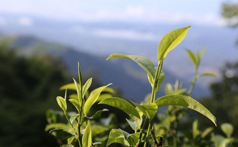 Чайный лист в природе