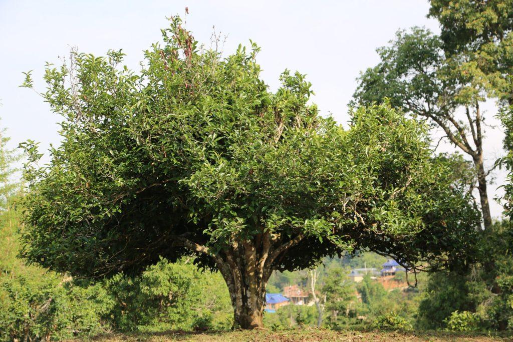 Чайное дерево в Китае