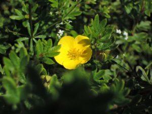 Цветок лапчатки желтой