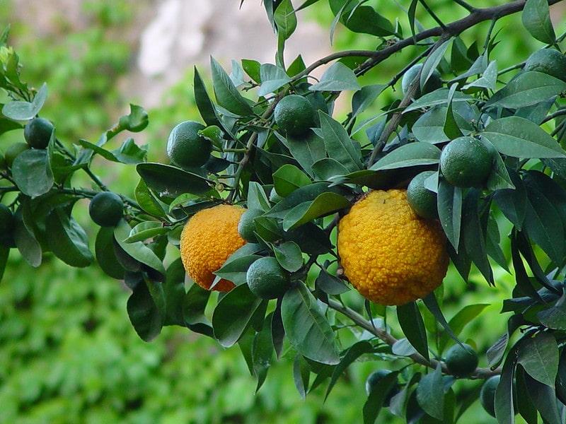 Растение Бергамот