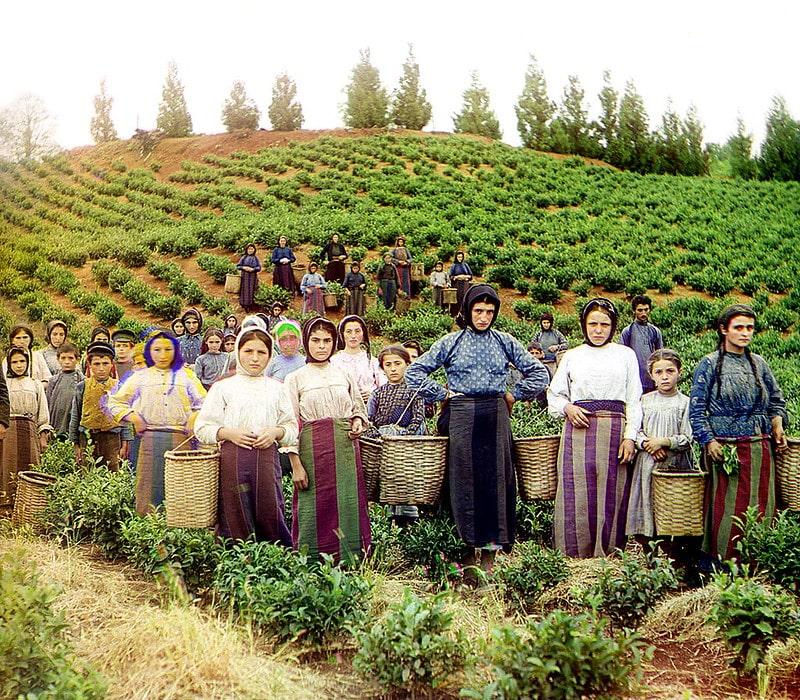 Сбор грузинского чая