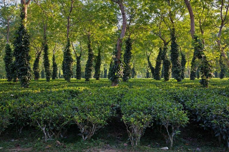Чайная плантация (ассам)