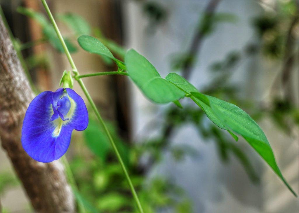Клитория тройчатая цветок