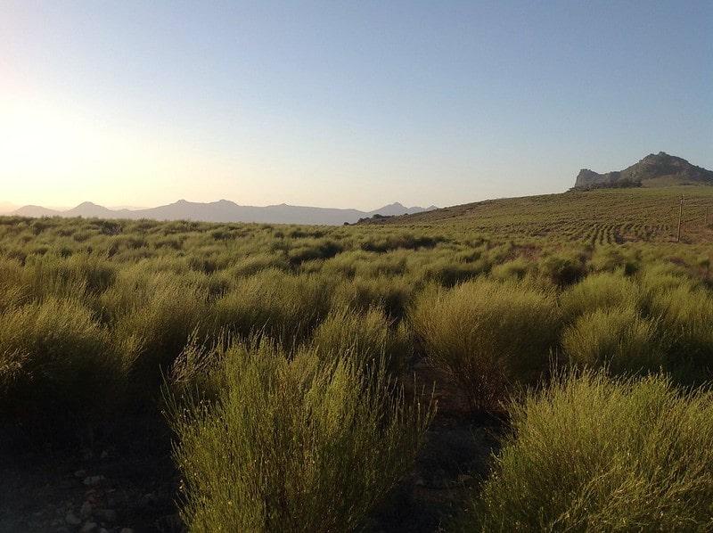 Плантация ройбоса в ЮАР
