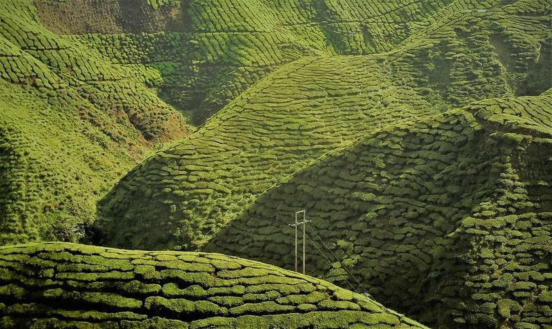 чайная плантация в горах
