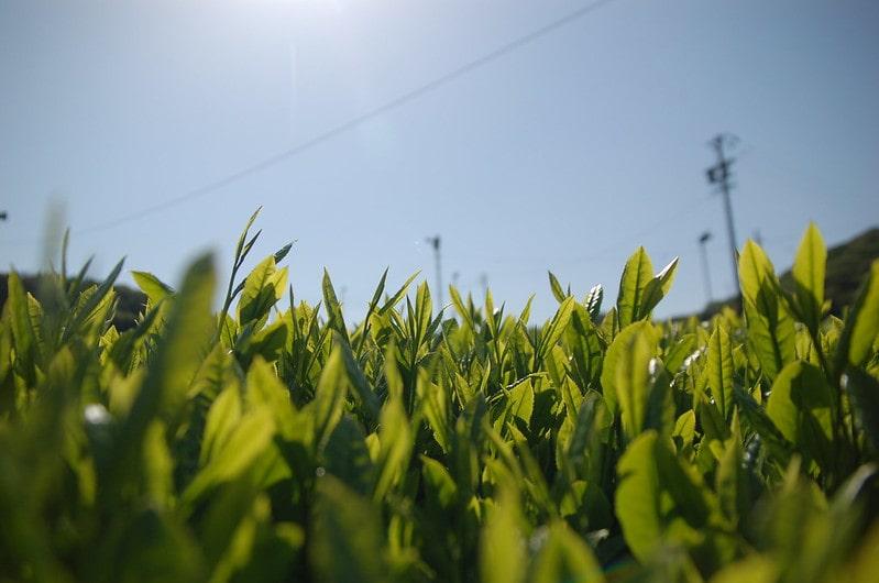 японский чай сенча плантация